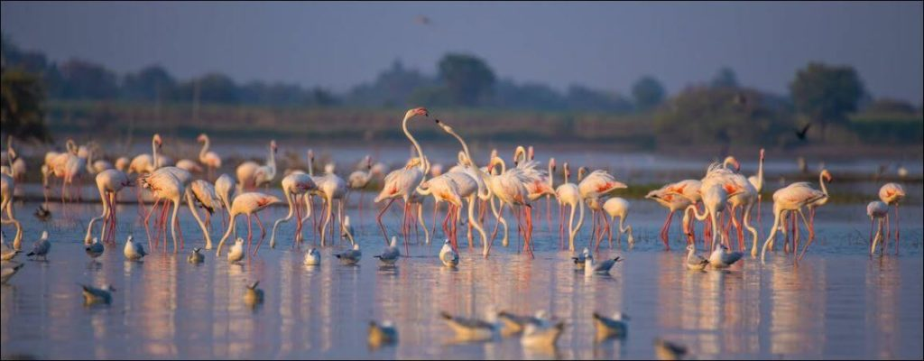 Urlaub Südfrankreich - Panoramabild Flamingos