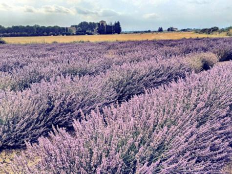 Lavendel kaufen - Lavendelfelder in der Camargue